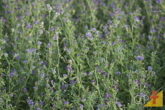 Orientações importantes para plantar alfafa