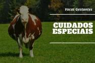 Vacas gestantes? Conheça os cuidados a serem tomados