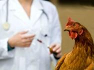Vai vacinar galinhas? Conheça as 5 formas e faça a melhor escolha!