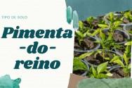 Qual o melhor tipo de solo para plantar pimenta-do-reino?