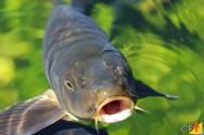 Sete peixes para criar em tanques