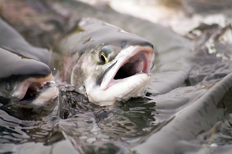 Alimentação de peixes