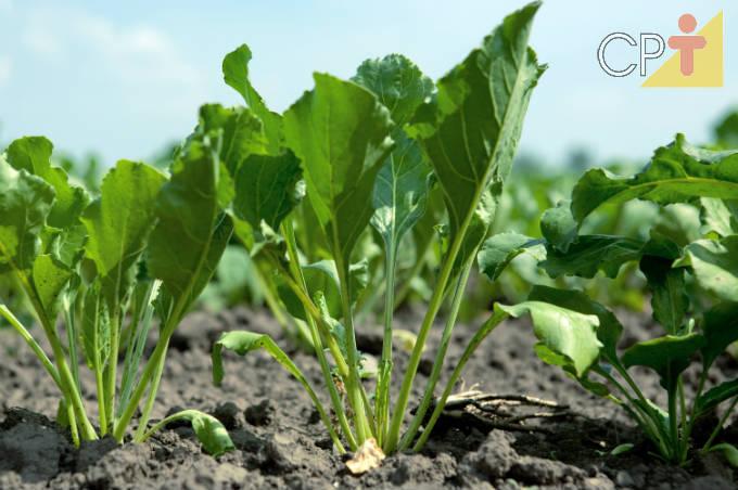 Rápido tutorial para cultivar beterraba