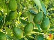 Aprenda a plantar abacate de forma fácil e simples