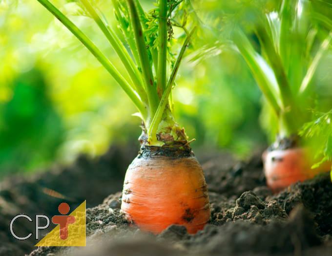 Passos para plantio de cenoura
