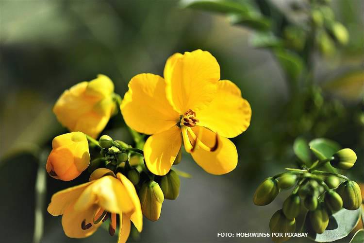 Sene: indicações e contraindicações da planta medicinal