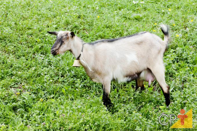 Qual a melhor dieta para cabras leiteiras?