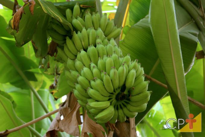 Bananeira: doenças causadas por bactérias, vírus e fungos