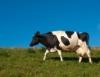 Nutrição de ruminantes na produção do leite a pasto
