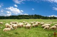 Ovelhas lanadas e ovelhas deslanadas pastam da mesma forma?