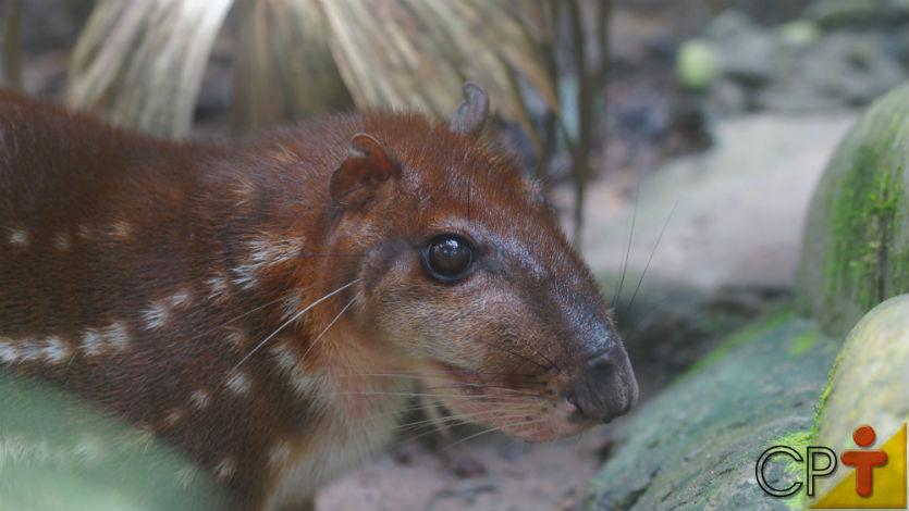 O segundo maior roedor do Brasil? A paca. Conheça!   Artigos Cursos CPT