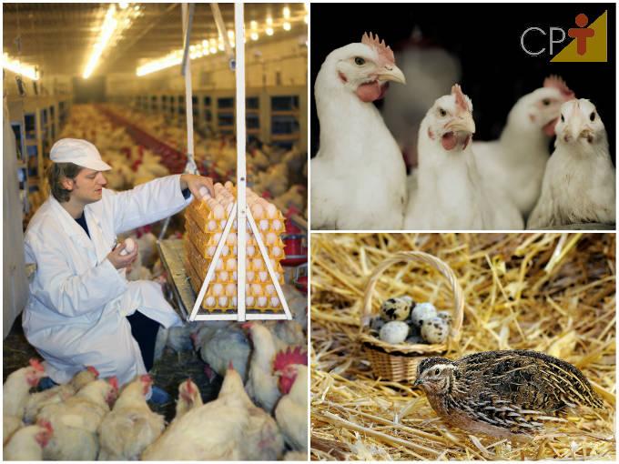 Avicultura: quando e como se desenvolveu no Brasil