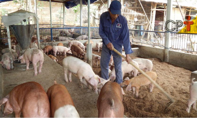 Porco brasileiro: cada vez mais magro e saudável!  Artigos Cursos CPT
