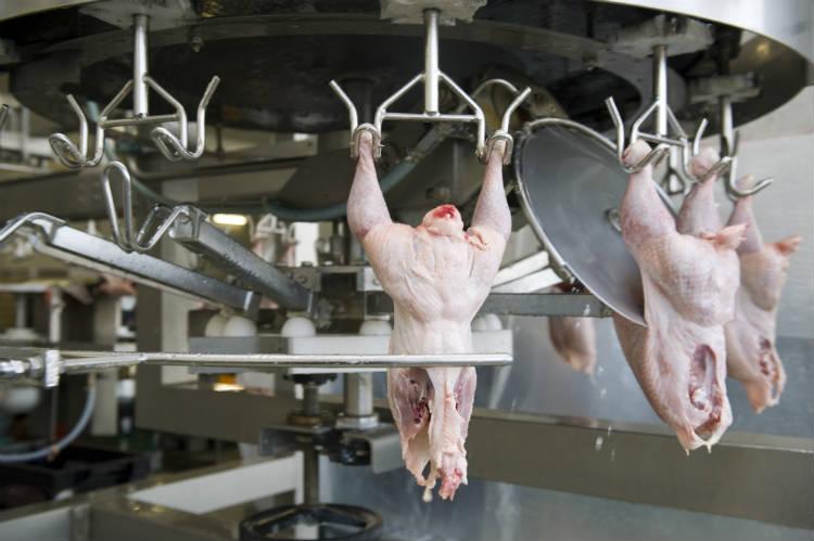 Confira todas as etapas do abate de frangos