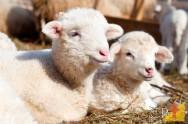 Reprodução de ovinos: melhor período da estação de monta
