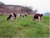 Forrageira determina o potencial de produção de leite do pasto