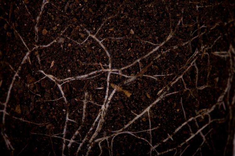 Agricultura: orientações para controle de nematoides