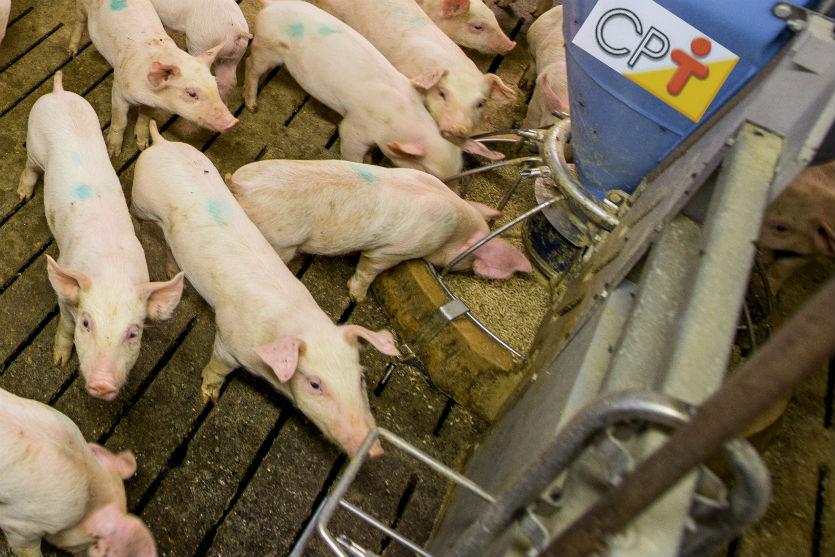 Uma dica para criar porcos light? Dieta da Proteína Ideal neles!   Artigos Cursos CPT