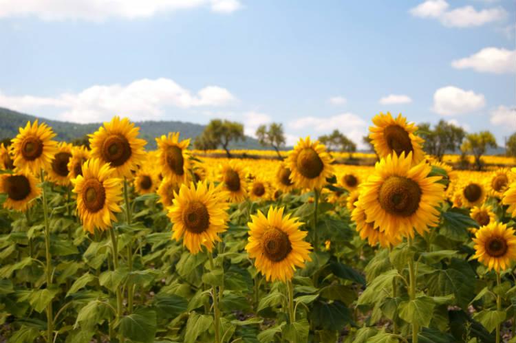 Cultivo de girassol: controle da mancha de alternaria