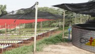 Criar peixes e plantar hortaliças ao mesmo tempo é possível? Sim, é!