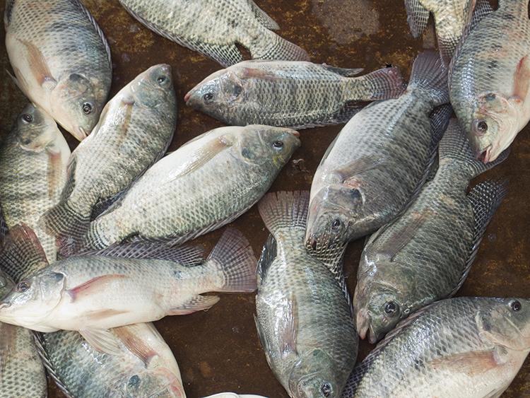 Peixes - imagem ilustrativa