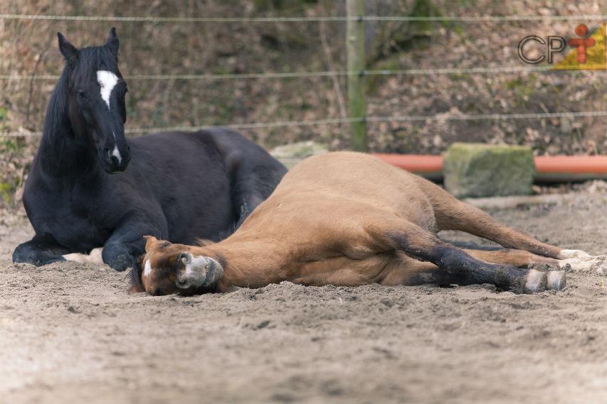 Gases, diarreias e cólicas: por que isso é comum nos cavalos?   Artigos Cursos CPT