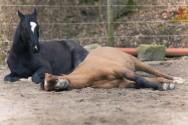 Gases, diarreias e cólicas: por que isso é comum nos cavalos?
