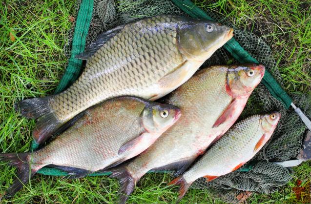 Brasil pode ser o maior na criação de peixes   Artigos Cursos CPT