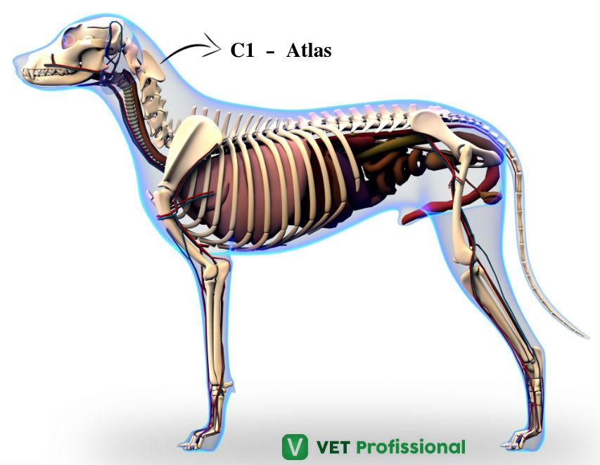 Atlas: primeira vértebra cervical dos mamíferos. Saiba mais!   Artigos VetProfissional