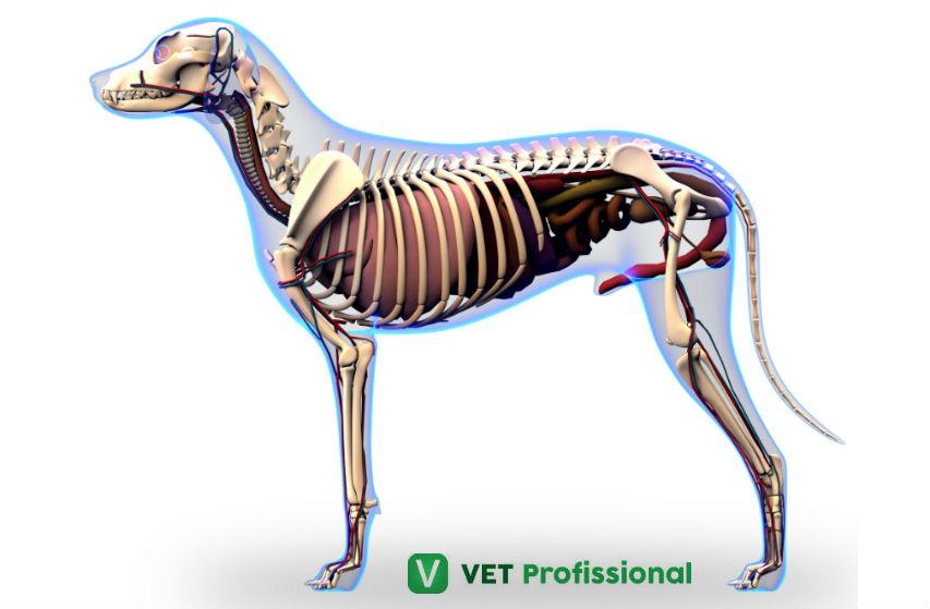 Veterinário, conheça as subdivisões da Anatomia Animal   Artigos VetProfissional