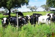 Principais fontes de forragem para bovinos? Leguminosas e gramíneas!