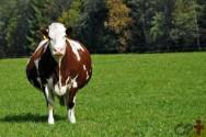 Vacas no pré-parto? Não as alimente com silagem de cana!