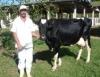Enquanto o veterinário não chega - atendimento aos bovinos