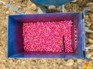 Como é feito o tratamento de sementes de milho