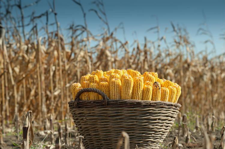 Vantagens do tratamento das sementes de milho