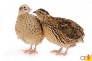 Aprenda a escolher as melhores codornas para reprodução