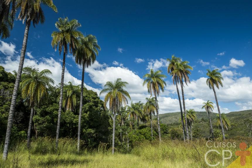 Vai plantar coco macaúba? Antes veja essas orientações   Dicas Cursos CPT