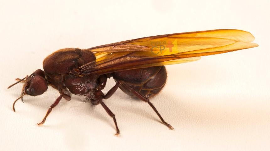 Após a fecundação, como é a vida da rainha no formigueiro?   Dicas Cursos CPT