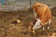 O que é a febre do leite?