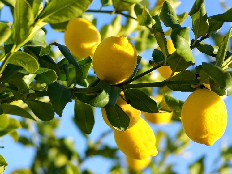 Limão siciliano melhora imunidade e previne doenças