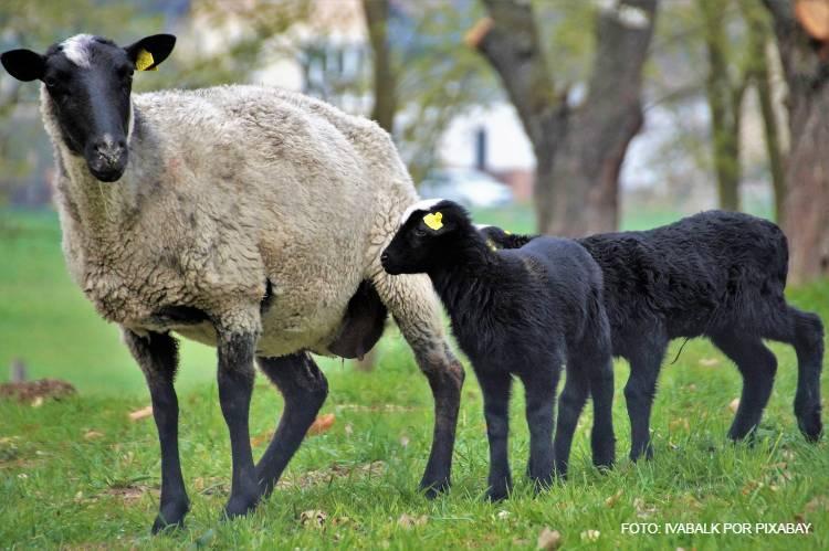 Aprenda sobre raça de ovinos Suffolk