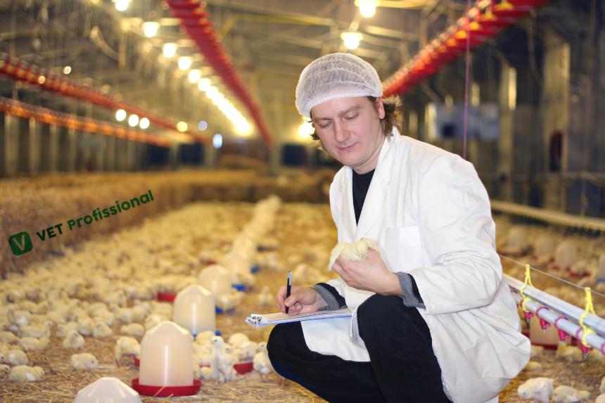 Veterinário dá dicas de como receber pintinhos em granjas    Artigos VetProfissional