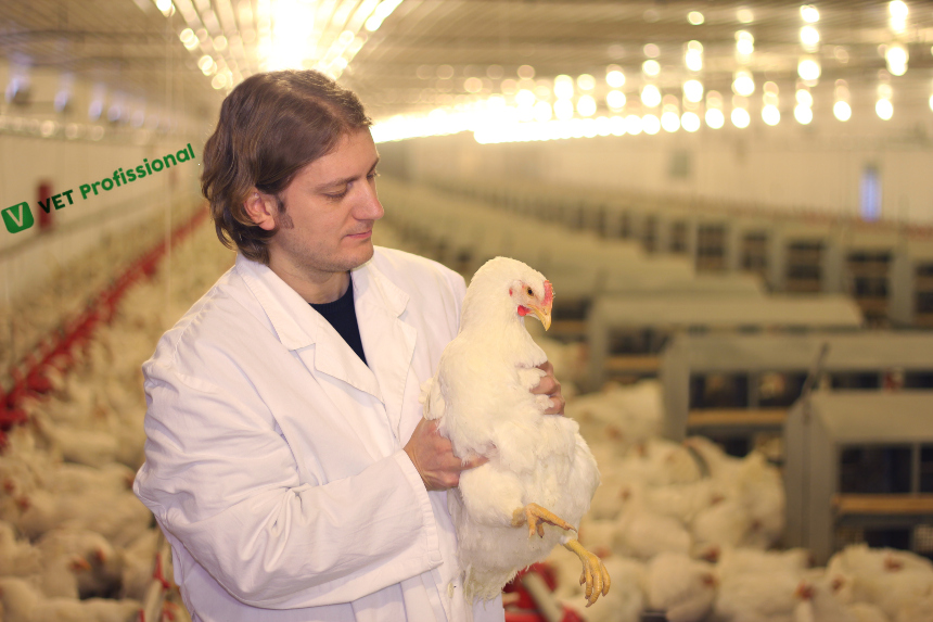 Veterinário de aves domésticas? Quais aspectos avaliar em granjas com problemas?   Artigos VetProfissional