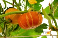 Produção de abóbora: controle da broca dos frutos