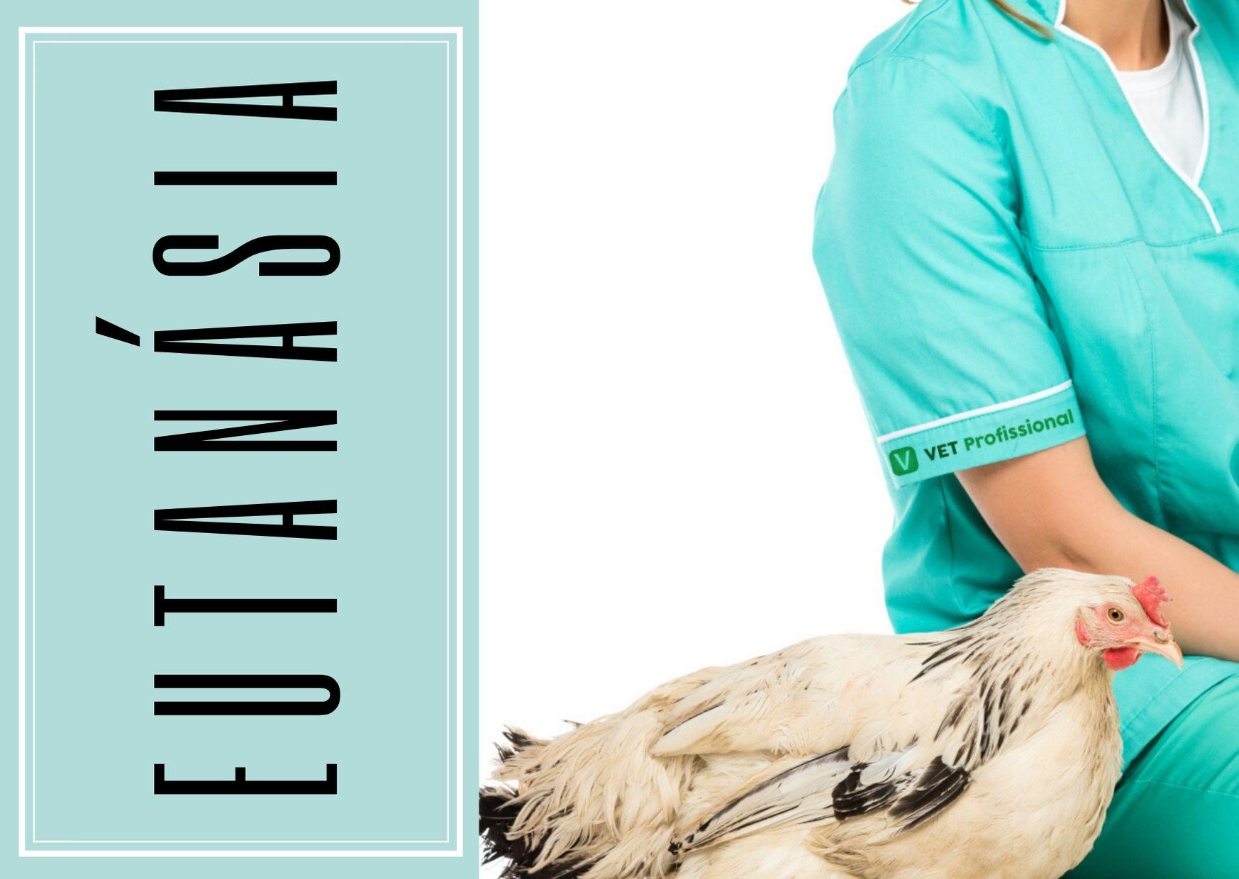 Quando realizar a eutanásia em granjas avícolas e como fazê-la?   Artigos VetProfissional