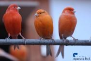 Saiba mais sobre os canários, a ave que conquistou até a nossa Seleção!