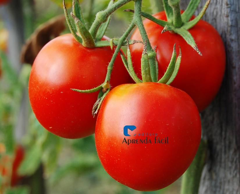 Aprenda como produzir tomates