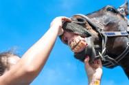 Especialidade em veterinária? Faça odontologia equina!