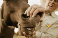 Infecção dentária em cavalos: como diagnosticar?