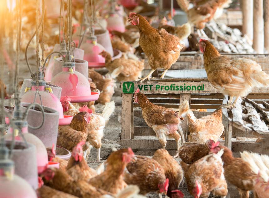 Doenças respiratórias em galinhas: como surgem   Artigos VetProfissional